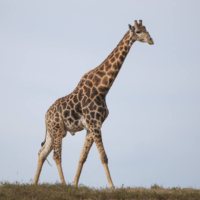 Giraffe, Finances and the Circle of Life