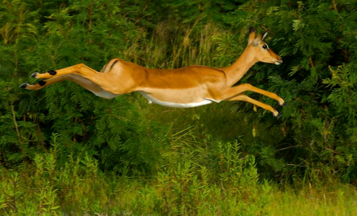 Impala behind the wall - why we avoid that - College ...
